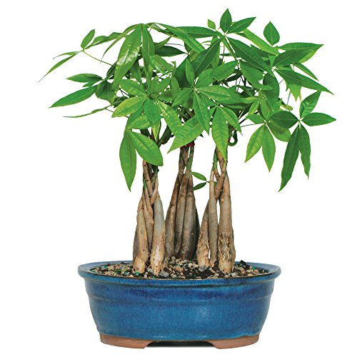 Brussel's Live Money Tree Grove Indoor Bonsai - 4 Years Old; 10' to 14' Tall with Decorative Container