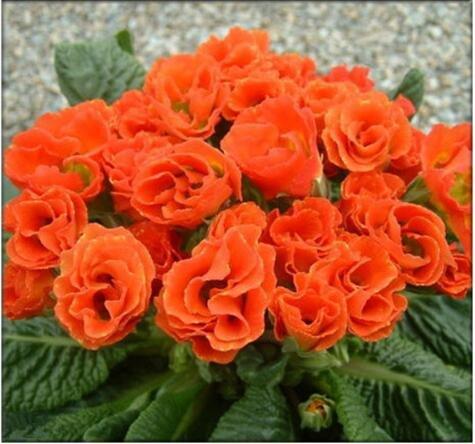 Rose graines Primula 50pcs rares graines de fleurs de bonsaïs d'intérieur pétales doubles graines Primrose de plantes en pot en plein air pour le jardin de la maison 3