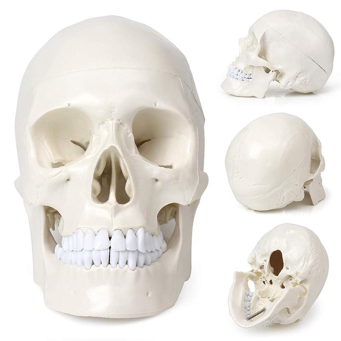 メイン十二十分にライフサイズ 頭蓋骨モデル 歯付き 人間の頭部 模型 解剖学 医療教授 医師 医学生 に適用
