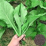 Benoon Pakchoi Seeds, 1 Bolsa Pakchoi Seeds Fresh Good Taste Seeds Semillas De Hortalizas Para Jardín Semillas de Pak Choi