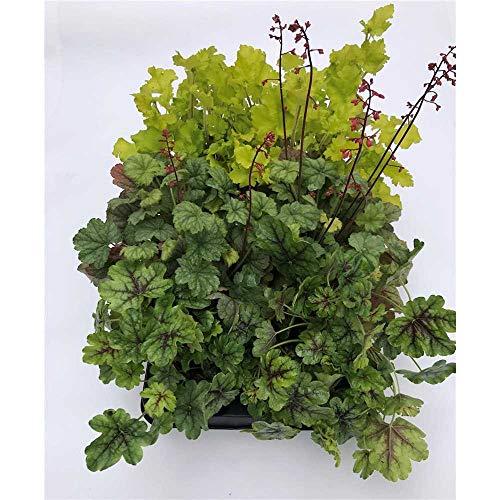 Heuchera Mix Set grün, Purpurglöckchen, 6 Töpfe a 12 cm - winterhart, in Gärtnerqualität von Blumen Eber - 6 Töpfe a 12 cm