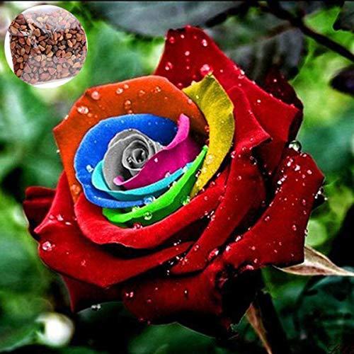 Gartensamen SummerRio- Selten Blau Rosensamen duftend Edelrose Blumensamen winterhart mehrjährig Rosen Blumen Saatgut für Vorgarten/Steingarten