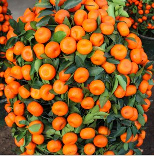 200PCS Escalade orange Graines Mini pot de fruits comestibles Graines Bonsai Chine Top Qualité Escalade Graines Oranger plantes grimpantes