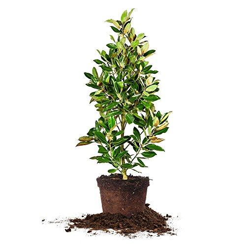 Perfect Plants 2-3 FT Little Gem Magnolia Tree, 2-3 FT, White