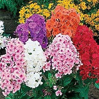ShopMeeko Seeds:Mixed Phlox Bonsai Flower Semente 120 Pcs Plant Phlox Flower Phlox Drummondii So Rare Beauty Your Garden : 6