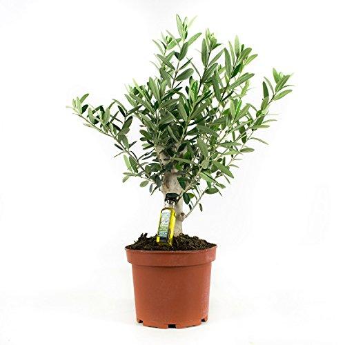 Flowy Arbre Olivier | Plantes exterieurs resistantes | Hauteur 35-100 cm | Pot 15-21 cm | Olivier Arbre Exterieur (35 cm)