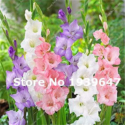 GETSO 200 PC Multi Color-Gladiole Blume (Nicht Gladiolen Zwiebeln), 95% Keimung, DIY Aerobic Vase, seltene Gladiolusblume Bonsai: 14