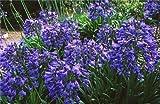Agapanthus Headbourne híbridos resistentes al frío Lirio de los Seeds NILO!