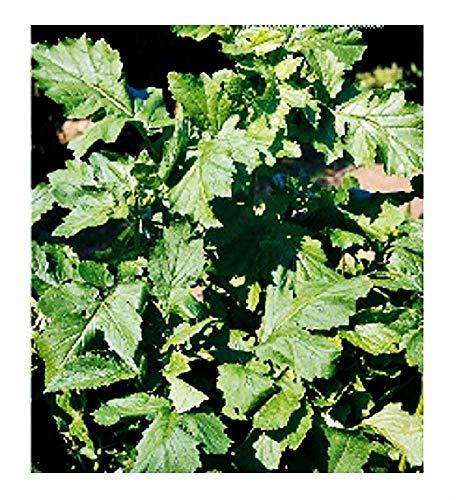 Semi Senape Nera - Brassica Nigra - Semi agricoli - Sementi Circa
