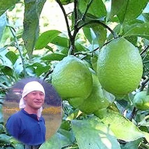 瀬戸田レモン 能勢さんの無農薬レモン 10kg A品 防腐剤 防カビ剤不使用 広島県産レモン 国産レモン