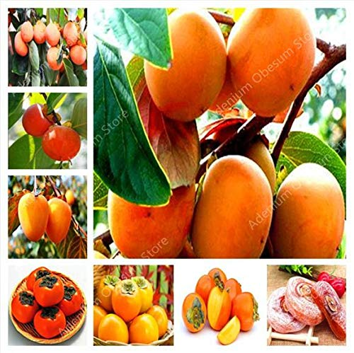 GETSO 200 Pcs Persimmon Bonsai Exotique Bonsai Belle délicieux Diospyros Arbres fruitiers Accueil Kaki Jardin Fruit, Plante Bonsai Pot: 100PCS