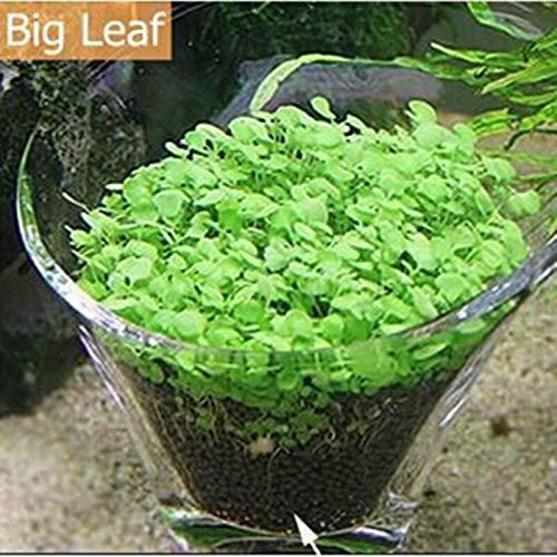 Livetrading 10 g/Beutel für Aquarium, Gras-Samen, Aquarium, Dekoration für Felsen, Rasen, Garten, Vordergrund, Pflanzen, Landschaft