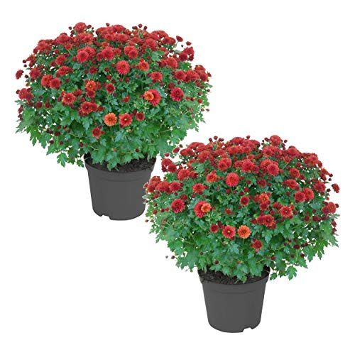The Three Company Beautiful Live Plants 8' Hardy Chrysanthemum (2 Mums Per Pack), 3 Quart Pot, Deep Red