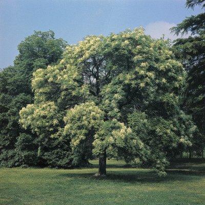 50 Flowering Ash Tree Samen, Manna-Esche