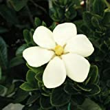 クチナシ:マルバクチナシ5号ポット[春と秋の二季咲き!葉が丸く愛らしいくちなし]