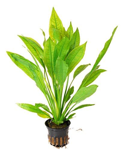 Zoomeister - Echinodorus bleheri im Topf - Große Amazonas-Schwertpflanze - Barsche