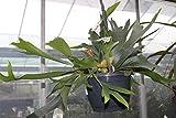 Planta de interior - Cuerno de alce - Cuerno de ciervo - En una maceta colgante de 18 cm y unos 50 cm de ancho