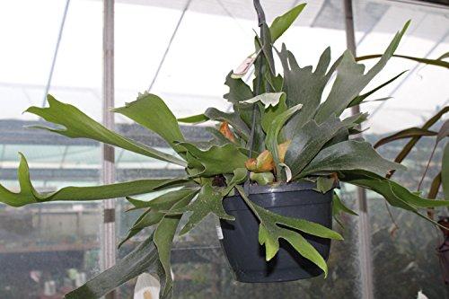 Garden Market Place StaghornFern Zimmerpflanze Platycerium Bifurcatum, Staghorn Farn, in einem 18 cm hängenden Topf und ca. 50 cm breit, grün