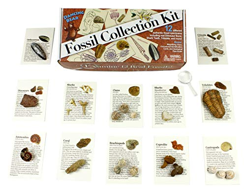 Fossil Collection Kit (12 pc): Trilobite, Dinosaur Bone, Shark Teeth, Coprolite (fossilized Turtle Poop) Fossil ID Book, Magnifying Glass, STEM Science Set, Dancing Bear Brand