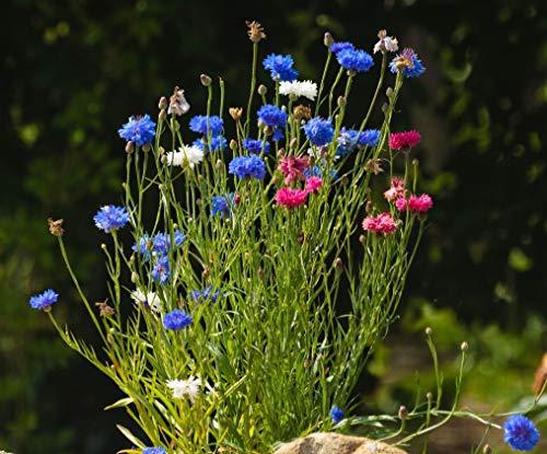 We-Ball Kornblume - gefüllte Mischung - Kornblumen Samen für 120 Pflanzen