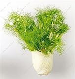 100 piezas de semillas de hinojo fresco y verde orgánico de semillas de hortalizas para jardín...