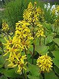 Ligularia hessei Laternchen - Hesses Goldkolben Laternchen