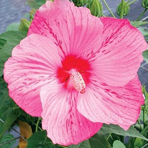 100 Hibiscus géant Graines de fleurs bricolage jardin en pot ou graines de fleurs cour graines de plantes faciles à cultiver des graines de jardin à la maison Bourgogne