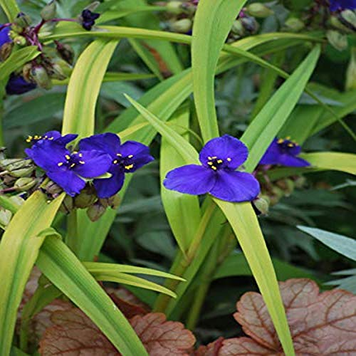 Perennial Farm Marketplace Tradescantia andersoniana 'Sweet Kate' (Spiderwort) Perennial, Size-#1 Container, Brilliant Gentian Blue Flowers