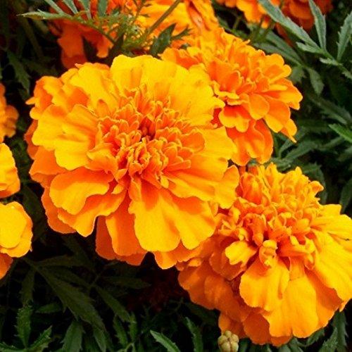 Tagète oeillet d'Inde Petite Orange 300 graines