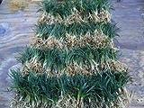 New and Healthy DWARF MONDO GRASS 220 PIPS EVERGREEN GROUND COVER ROCK GARDEN BORDER NANA VARIETY