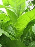 Kentucky Tabak (Nicotiana tabacum) 600 Samen