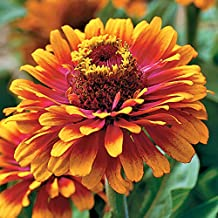 Park Seed Zowie! Yellow Flame Zinnia Seeds