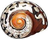 WANGSHAOFENG 8-9cm Natural África Turban Mar Cáscara Coral Conch Caracol Natural Natural Tornillo Gran Tornillo Conch Shells Coral Collectible AQ caracolas de mar Grandes