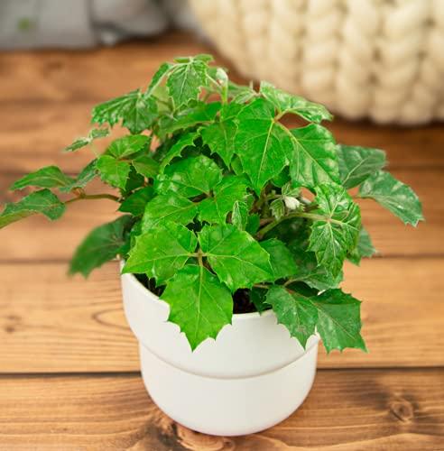 Isenzo RojcisusCissus Zimmerpflanze Topfpflanze im 13cm-Topf Kletterpflanze Balkon- Gartenpflanze
