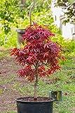Acero rosso giapponese'Acer palmatum Shaina' pianta in vaso ø20 cm