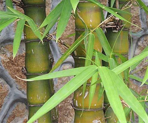 Ferry 40seed, Rare Buddhas Bauch, Bambusa ventricosa