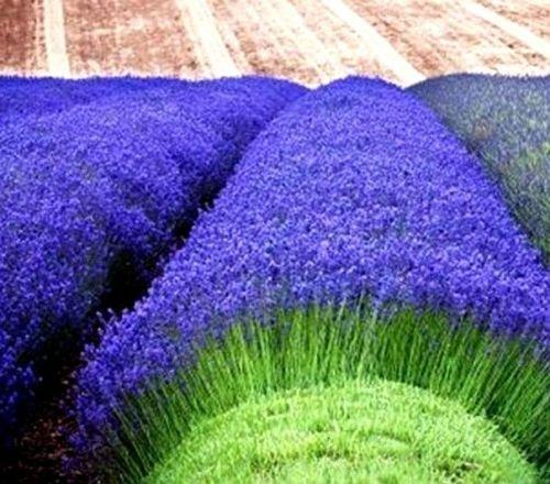Lavande Munstead 50 graines Lavandula angustifolia Munstead * Fragrant [Reliure inconnue]