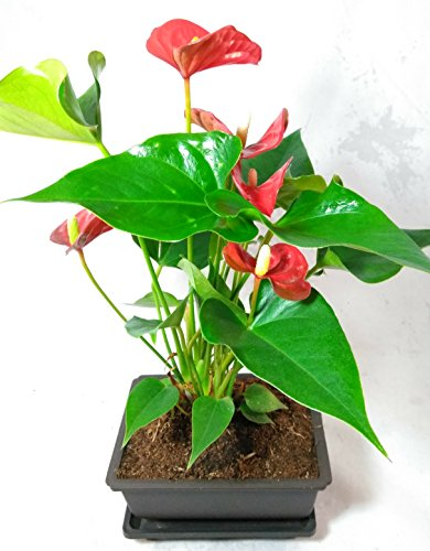 Summer Special - Hawaiian Red Anthurium Plant 8 - 10 Inches in a 5'' L Bonsai Pot