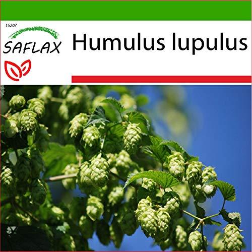 SAFLAX - Heilpflanzen - Echter Hopfen - 50 Samen - Mit keimfreiem Anzuchtsubstrat - Humulus lupulus