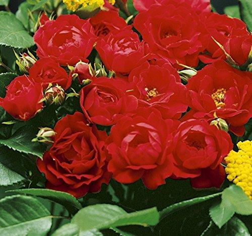 'Limesglut' -R-, Kleinstrauchrose, ADR-Rose im 4 L Container