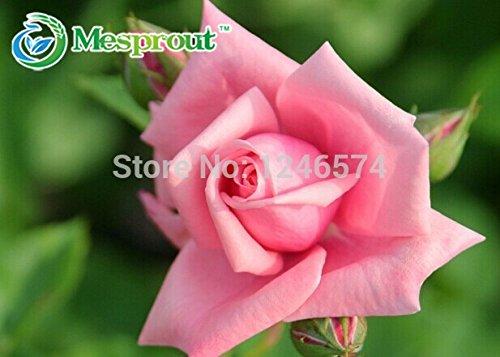 50 Seeds 1 Pack de Chine Rare Pink Rose Graines de fleurs Graines Facile à plantes Jardin des plantes Rosa Semillas Bonsai