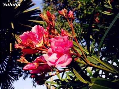 150 Pcs Nerium Graines Oleander plantes en pot semencier japonais Jardin Décoration Bloom Graine Facile à cultiver purifient l'air 8