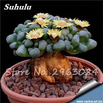 Grosses soldes! 50 Pcs rares Graines de Cactus Succulentes Plantes Mini jardin Plantation, fruits comestibles Beauté Vegeable Graines Herbes plante sain 5