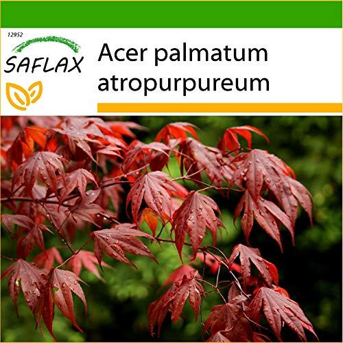 SAFLAX - Arce japonés - 20 semillas - Con sustrato estéril