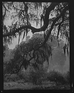 1920 Photo Spanish moss, New Orleans vintage black & white photo H81