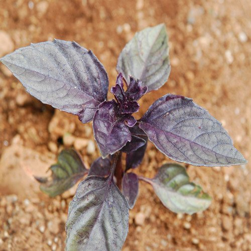 Plant World Seeds - Red Rubin Basil Seeds