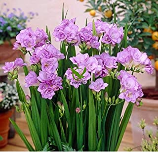 FERNSFLY™ IMP. Double Freesia | Freesias Excellent Quality Double Flower Bulbs for Aromatic Flowers Home indoor Outdoor Ga...