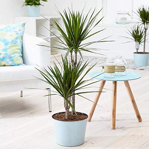 Tropical Dragon Tree'Draceana Marginata' Indoor Houseplant Supplied in 13cm Pot