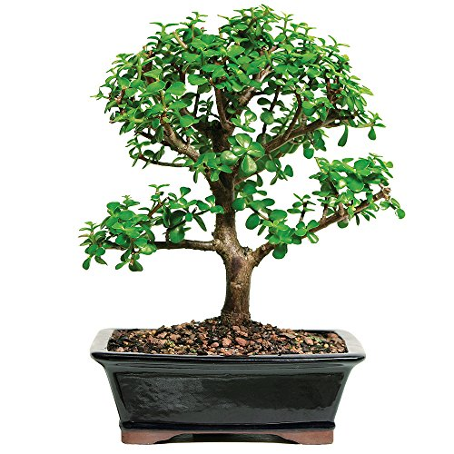 Brussel's Live Jade Indoor Bonsai Tree - 7 Years Old; 8' to 12' Tall with Decorative Container