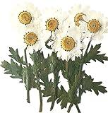 Fleurs pressées, marguerite blanche sur tige 20 pièces pour art floral, artisanat